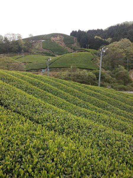 朝宮の茶畑